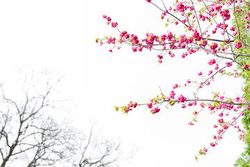 Cherry blossom, sakura flowers isolated on white background.