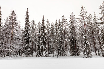The snow-covered forest in The Korouoma Nature Reserve, Finland. Southern Lapland, Municipality of Posio.