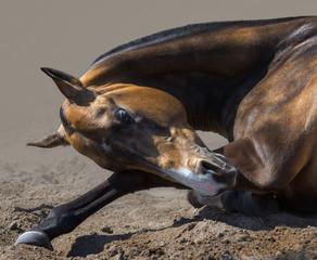 Wall Mural - Akhalteke stallion rolls in sand