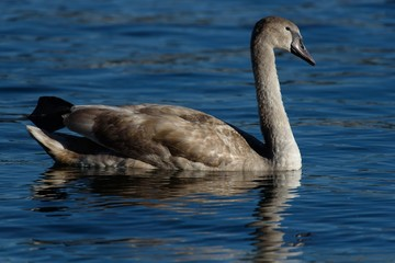 Mute swan is swimming in a lake