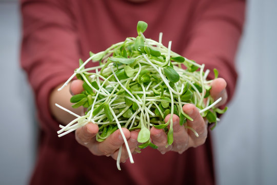 Green ssunflower sprouts in woman's hands