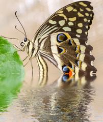 odbicie motyla