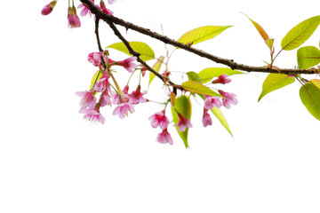 Wall Mural - Beautiful sakura flower (cherry blossom) in spring on white background