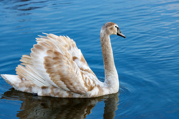 Young white swan floating on the water surface of the river