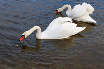 Couple of white swans with splayed wings floats on the water surface of the river