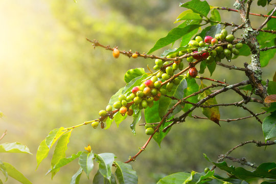 Coffee beans ripening on tree in North of Sumatra island,Indonesia