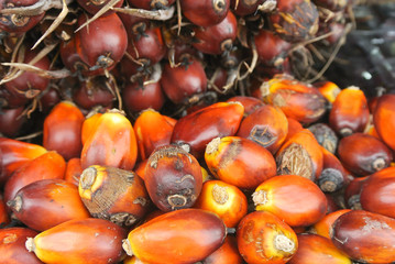 Close-up view of palm oil fruit. The fruit was ripe and harvested.