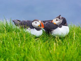 Atlantic Puffins resting on green grass at Latrabjarg Cliff