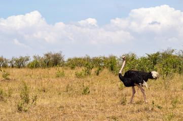 Ostrich in the savanna of mara a park in northwestern Kenya