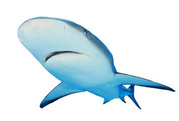 Grey Reef Shark isolated on white background