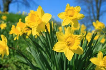 Poster Narcis Gelbe Narzissen im Frühling