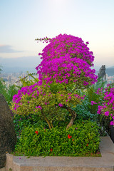 beautiful, bright flowers grow in the tropics in Sanya. growing up straight on the street. China