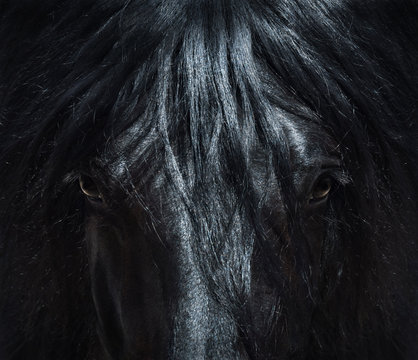 Andalusian black horse with long mane. Portrait close up.