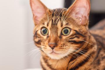 kitten of a Bengal cat