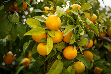 Mandarin oranges which mean Lucky for Chinese people.