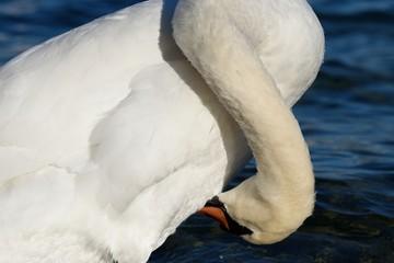 Mute swan body detail