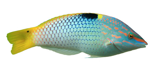 Foto op Aluminium Onder water Tropical reef fish isolated on white background. Checkerboard Wrasse