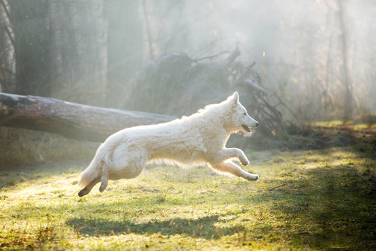 Dog of breed White Swiss Shepherd in the forest