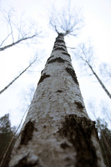 huge birch tree trunk and bright sky