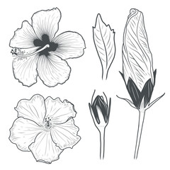 Hibiscus flowers drawing. Vector illustration