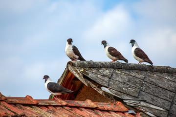 Pigeons on slate roof