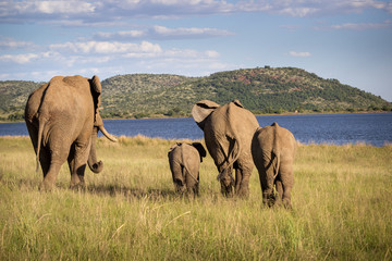 Family of elephants walking to the water