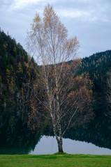 Birch on the Hintersteiner Lake in Tirol Austira