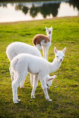 three cute young alpacas