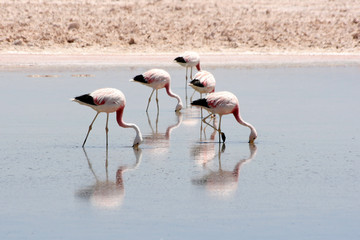 Flamingos in Atacama desert, Chile.