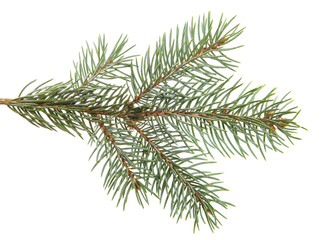 branch of spruce with needles. isolated on white background