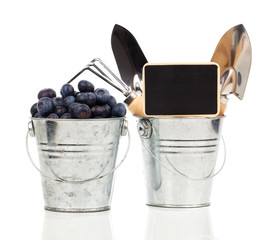 ripe blueberries in metallic bucket with garden tools, on a white background