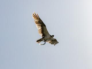 Osprey (Sea Hawk) flying with fish, Sanibel Island, Florida, USA
