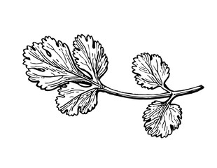Coriander ink sketch.