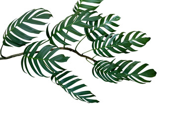 Dark green leaves of Monstera philodendron plant growing in wild, the tropical forest plant, evergreen vine isolated on white background, clipping path included.