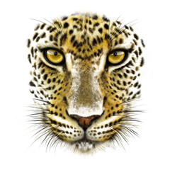 portrait of a leopard on a white background