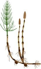 Equisetum arvense (horsetail) sporophyte with fertile and sterile stems, tuber and rhizome