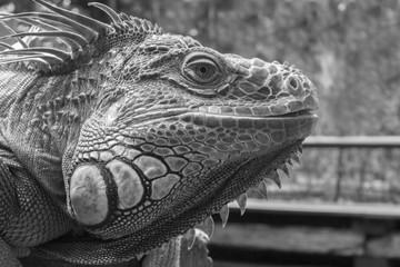 Good looking Iguana closeup picture in Black and White