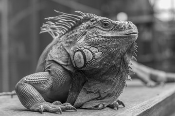 Good looking Iguana picture in Black and White