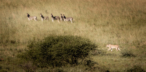 A lioness hunting a group of zebras