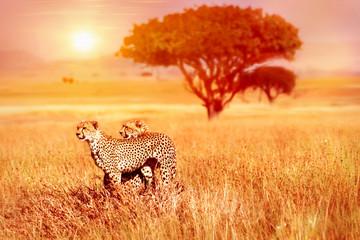 Wall Mural - Two cheetahs in the Serengeti National Park.