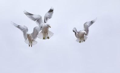 Seagulls in air