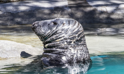 Swimming, seal resting in the sun in the water
