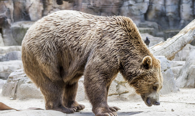 Dangerous Predator, beautiful and furry brown bear, mammal