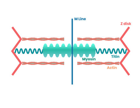 Heart muscle proteins and philament structure. Myosin, actin and titin illustration