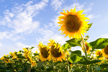 Flowers of sunflowers bloom on the background of a blue sky with clouds