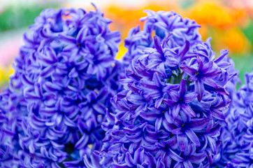 Blue hyacinths in the garden of Keukenhof, Netherlands