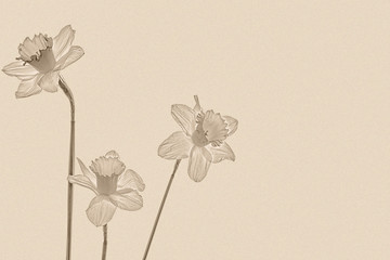 Three daffodils on a textured paper background, sepia