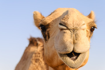 Tuinposter Kameel Closeup of a camel's nose and mouth, nostrils closed to keep out sand