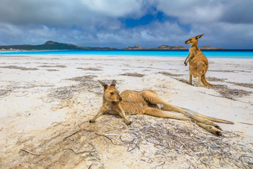 Foto op Aluminium Kangoeroe Two kangaroos at Lucky Bay in Cape Le Grand National Park, near Esperance in Western Australia. Lucky Bay is one of the best beaches for its white sand, turquoise water and perfect swimming conditions