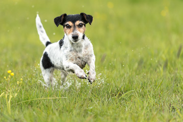 Dog runs over a green wet meadow - Jack Russell terrier doggy 7 years old - hair style broken
